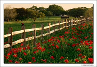 Red Poppies and Red-Winged Blackbird, Texas, 2007