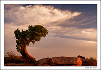 Juniper Tree, Dead Horse Point State Park, Utah, 2008