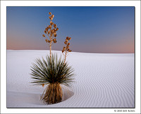 Solitary Yucca, White Sands National Monument, New Mexico, 2010